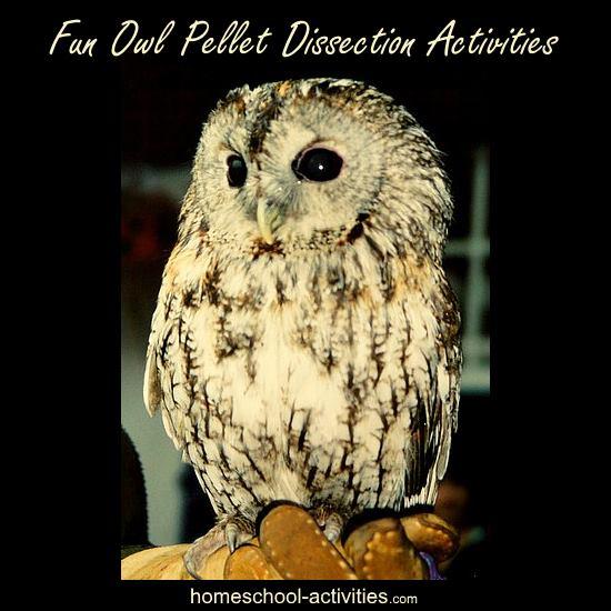 kids owl pellet dissection activity