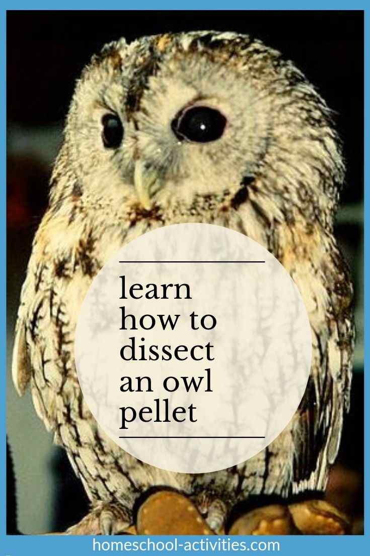 how to dissect an owl pellet
