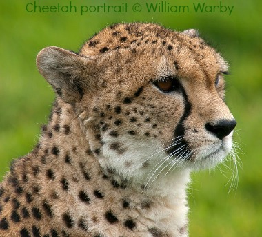 Cheetah portrait at Whipsnade Zoo by William Warby