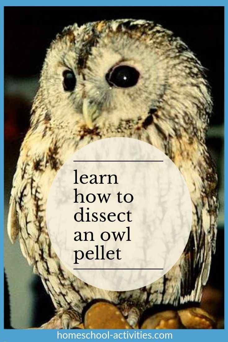 Owl Pellet Activity For Kids