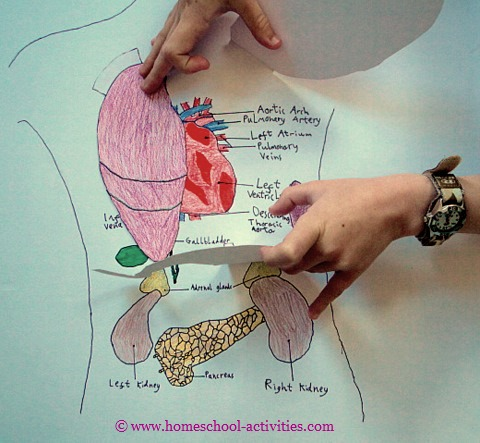 human body with organs diagram