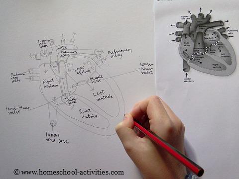 human heart diagram for kids