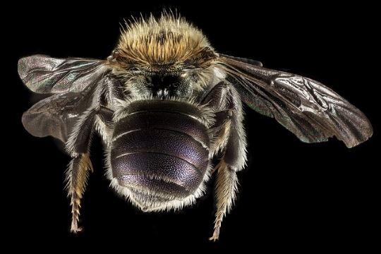 Mason bee