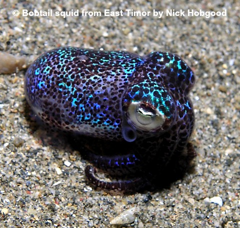 bobtail squid from East Timor