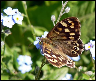Speckled Wood Butterfly drinking from Forget-me-not flowers