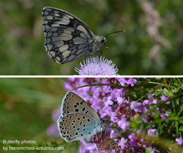 Butterfly pictures of the large blue and marbled white butterflies.