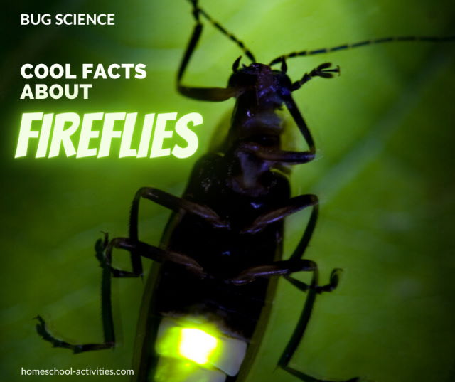 Fascinating facts about fireflies