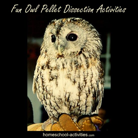 kids owl pellet dissection activity